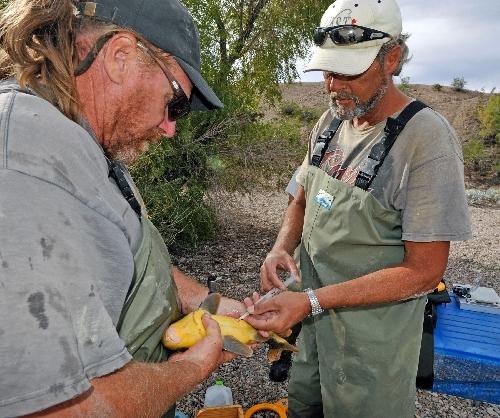 Razorback Sucker Fish (Las Vegas Review-Journal)