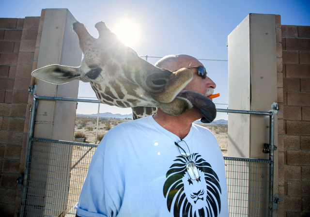 Ozzie, 2-year old giraffe, takes a carrot out of Keith Evans mouth at The Lion Habitat Ranch in Henderson on Friday, Nov. 25, 2016. Evans, owner of the facility, recently acquired the giraffe from ...