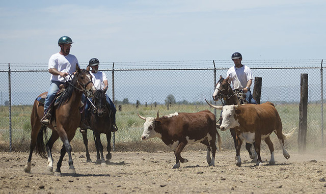 Inmates Jason MacDonald, left, Doug Slabbekorn, center, and Chris Culcasi practice herding cows with horses in training at the Wild Horse Program run at the Sacramento County Sheriff's Department' ...