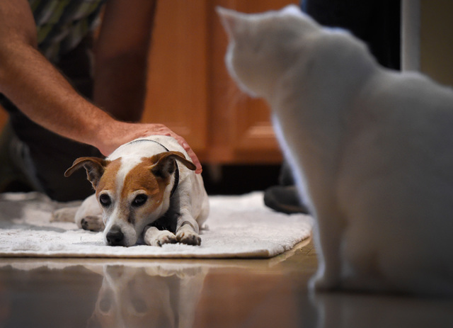 The house cat Morgan watches veterinarian Dr. Toby Goldberg tends to his patient, Sammie, a 13-year-old Jack Russel terrier during a house call at Larry Klecka and Cheryl Mitt's home, Thursday, Oc ...