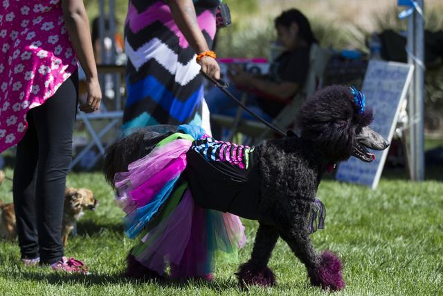 Marquita Tolliver walks her dog Twilight during the Family, Fur and Fun Festival at Exploration Park on Saturday, Oct. 15, 2016, in Las Vegas. (Erik Verduzco/Las Vegas Review-Journal Follow @Erik_ ...
