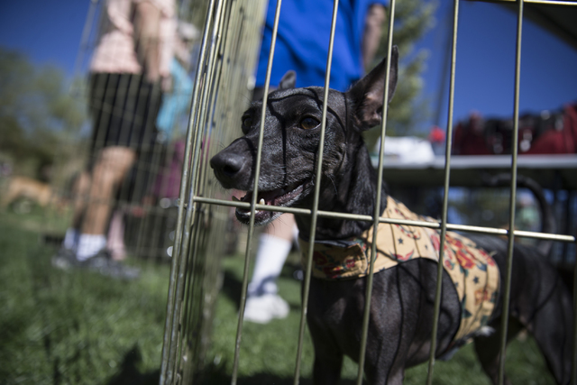 A dog with On My Way Home Rescue, looks outside of a fence during the Family, Fur and Fun Festival at Exploration Park on Saturday, Oct. 15, 2016, in Las Vegas. (Erik Verduzco/Las Vegas Review-Jou ...