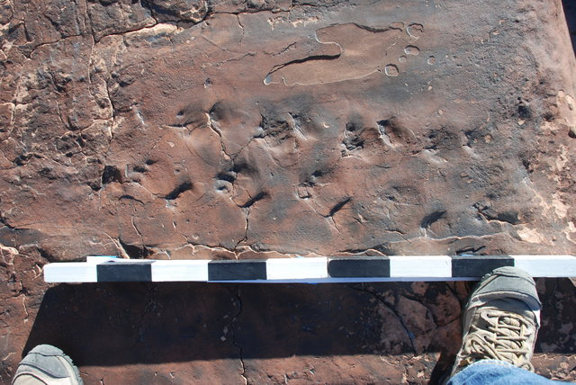 Fossilized reptile tracks march across a sandstone slab about 115 miles northeast of Las Vegas in this photo taken Feb. 7. UNLV geology professor Steve Rowland said the footprints were laid down a ...