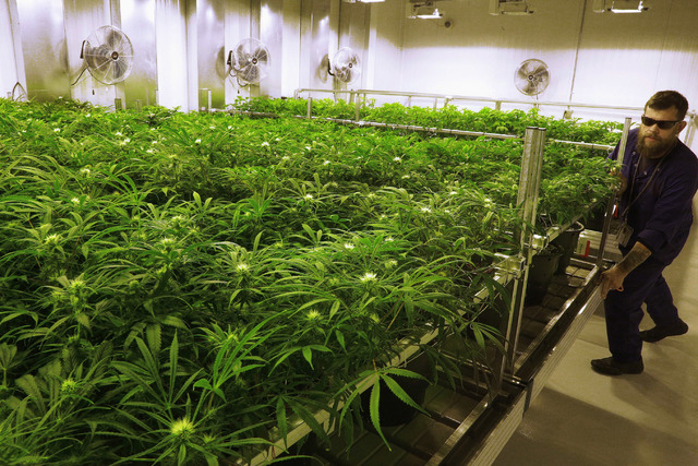 """Lead grower Dave Wilson cares for marijuana plants in the """"Flower Room"""" at the Ataraxia medical marijuana cultivation center in Albion, Ill., in 2015. (Seth Perlman/The Associated Press)"""
