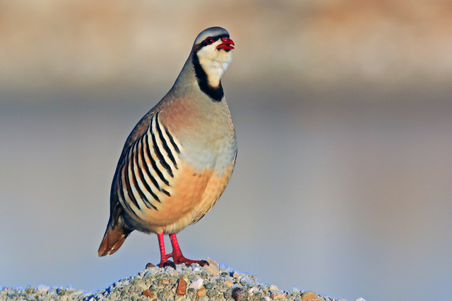 An adult Chukar Partridge is seen at Antelope Island State Park, Syracuse, Utah in this undated photo. (Thinkstock)