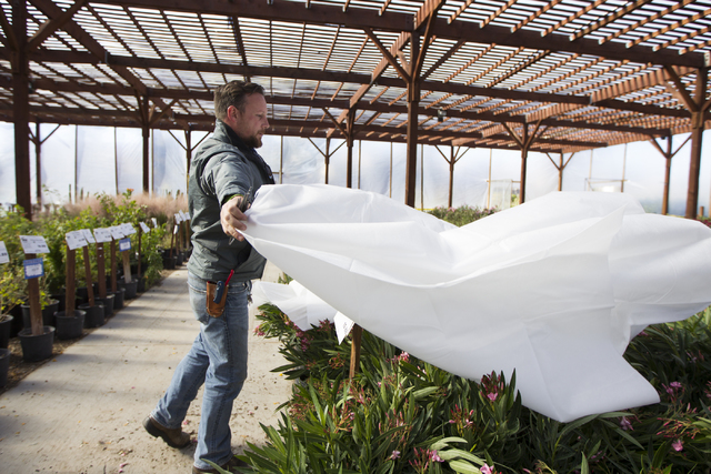 Assistant manager Frank Macrae demonstrates how to insulate plants to prevent freezing from the weather at Star Nursery on Tuesday, Nov. 29, 2016, in Las Vegas. (Erik Verduzco/Las Vegas Review-Jou ...