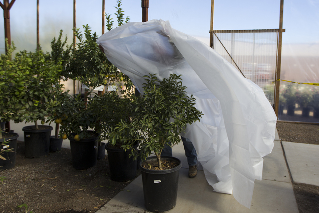 Assistant manager Frank Macrae, not pictured, demonstrates how to insulate trees to prevent freezing from the weather at Star Nursery on Tuesday, Nov. 29, 2016, in Las Vegas. (Erik Verduzco/Las Ve ...