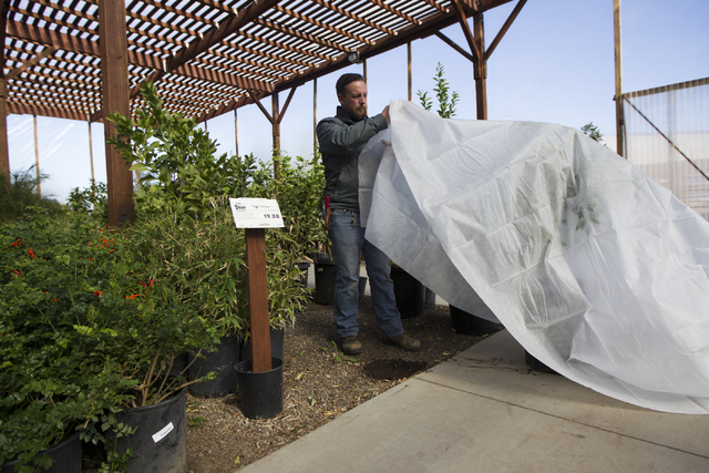 Assistant manager Frank Macrae demonstrates how to insulate trees to prevent freezing from the weather at Star Nursery on Tuesday, Nov. 29, 2016, in Las Vegas. (Erik Verduzco/Las Vegas Review-Jour ...