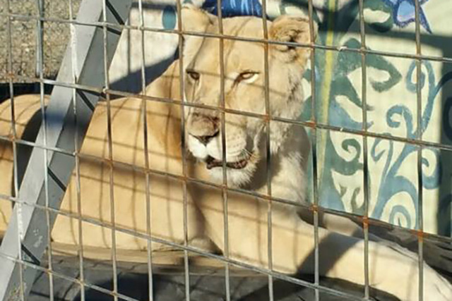 Two African lionesses, an African lion, a Bengal tiger, eight Canadian Siberian lynx hybrid cats, a black panther, a fennec fox and a cervel caracal hybrid cat were taken from a Pahrump home on Th ...