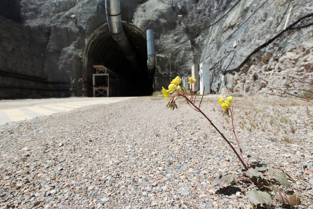 A flower blooms outside the north portal during a congressional tour of the Yucca Mountain exploratory tunnel Thursday, April 9, 2015. (Sam Morris/Las Vegas Review-Journal) Follow Sam Morris on Tw ...