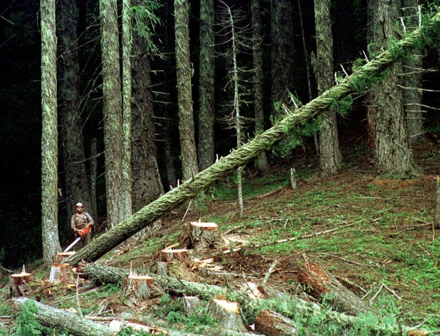 FILE - In this undated file photo, a large fir tree heads to the forest floor after it is cut by an unidentified logger in the Umpqua National Forest near Oakridge, Ore. For conservatives who have ...