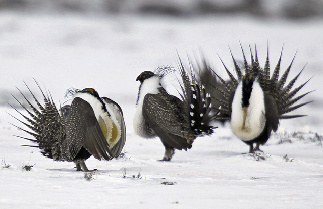 In this April 20, 2013 file photo, male greater sage grouse perform mating rituals for a female grouse, not pictured, on a lake outside Walden, Colo. (David Zalubowski/AP)