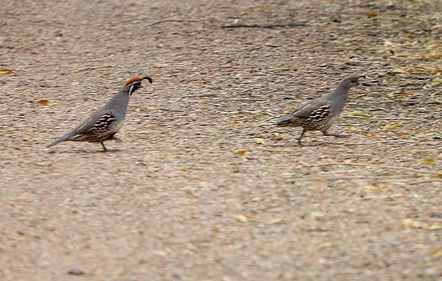 Quails wander at Bird Viewing Reserve Wednesday, Dec. 21, 2016, in Henderson. (Bizuayehu Tesfaye/Las Vegas Review-Journal)@bizutesfaye