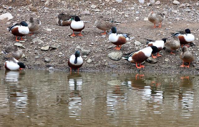 Northern Shovelers wander at Bird Viewing Reserve's pond Wednesday, Dec. 21, 2016, in Henderson. (Bizuayehu Tesfaye/Las Vegas Review-Journal)@bizutesfaye