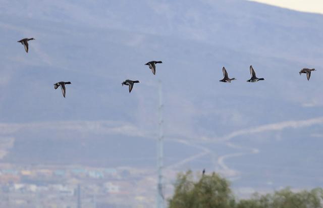 Birds fly over Bird Viewing Reserve's ponds Wednesday, Dec. 21, 2016, in Henderson. (Bizuayehu Tesfaye/Las Vegas Review-Journal)@bizutesfaye