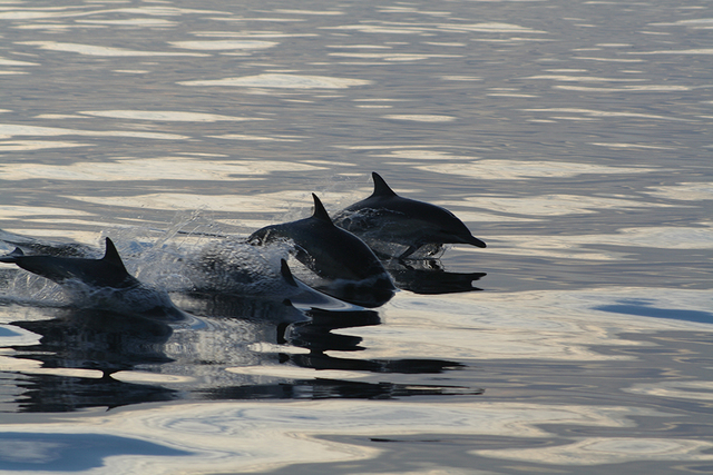 DEBORAH WALL/SPECIAL TO VIEW This time of year offers the year's best chance to spot gray whales and dolphins off the Southern California coast. Dolphins can often be seen jumping and especially r ...