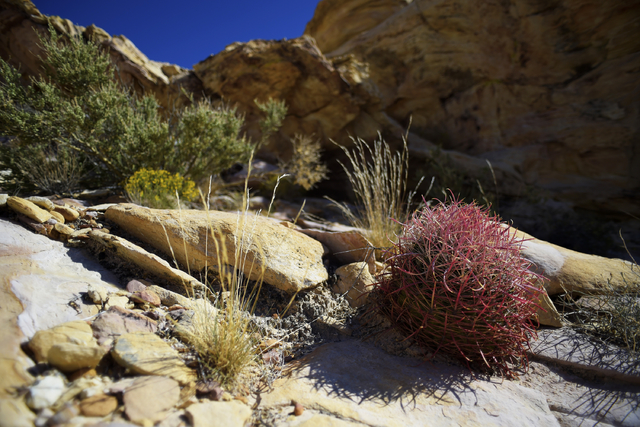Vegetation is seen in the Falling Man petroglyph area in the Gold Butte region Saturday, Oct. 15, 2016, northeast of Las Vegas. Sam Morris/Las Vegas News Bureau