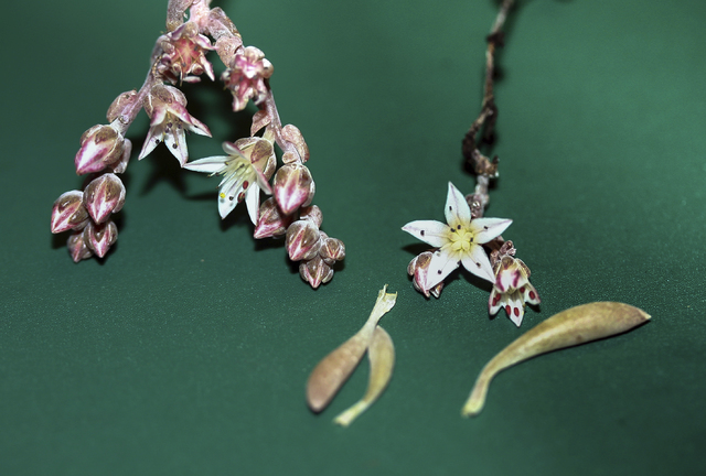 This newly discovered rare plant is named after famed rock guitarist Jimi Hendrix. (Stephen McCabe/San Diego State University via AP)