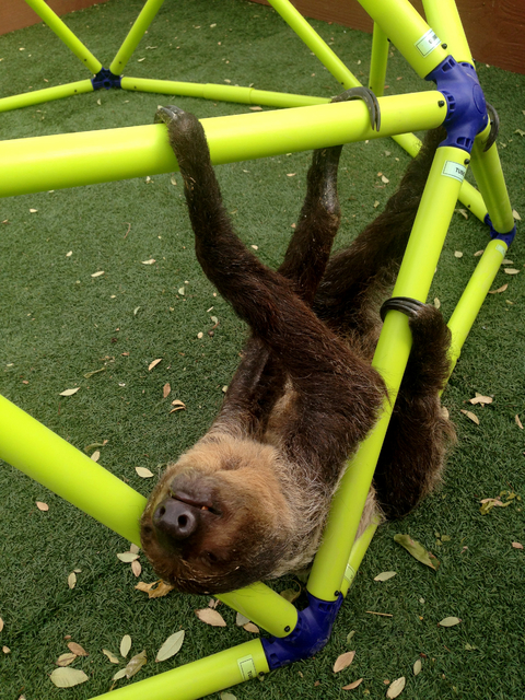Ambien the sloth gets a little exercise at Roos-N-More Zoo in Moapa on Oct. 23. The zoo announced this week that it will close at the end of the year. (Henry Brean/Las Vegas Review-Journal)