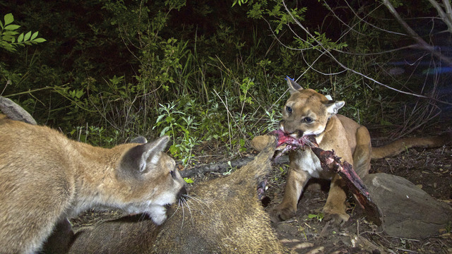 Mountain lion in wildlife study killed on southern california an adult female mountain lion known as p 39 is seen with one spiritdancerdesigns Images