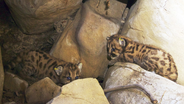 Mountain lion in wildlife study killed on southern california this 2015 photo shows two of a litter of kittens born to an adult female mountain spiritdancerdesigns Images