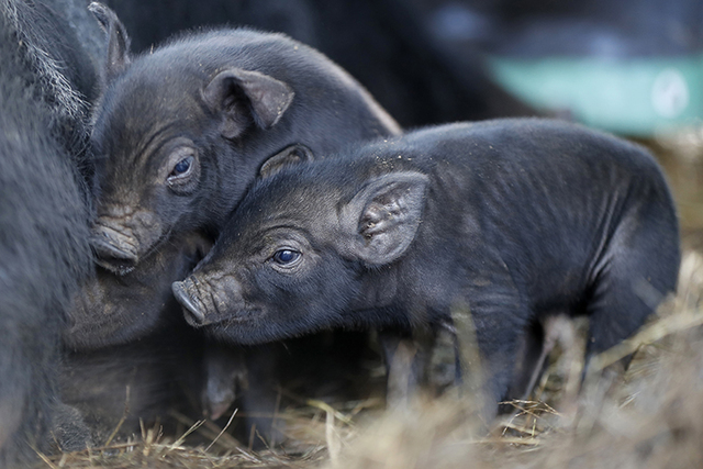 Three-day-old mulefoot piglets nuzzle their mother at Dogpatch Farm in Washington, Maine. The American mulefoot hog was once the rarest of all U.S. livestock breeds, and they're still listed as  ...