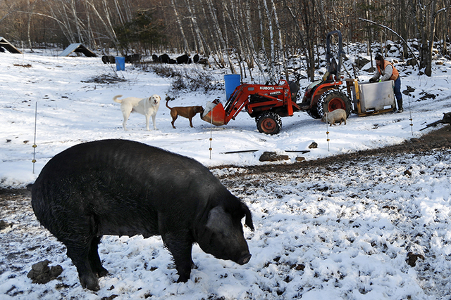 Susan Frank prepares to feed her mulefoot pigs at Dogpatch Farm in Washington, Maine. The rare breed enjoys open pasture and woodland at the small farm in rural Maine. Frank says it may sound coun ...
