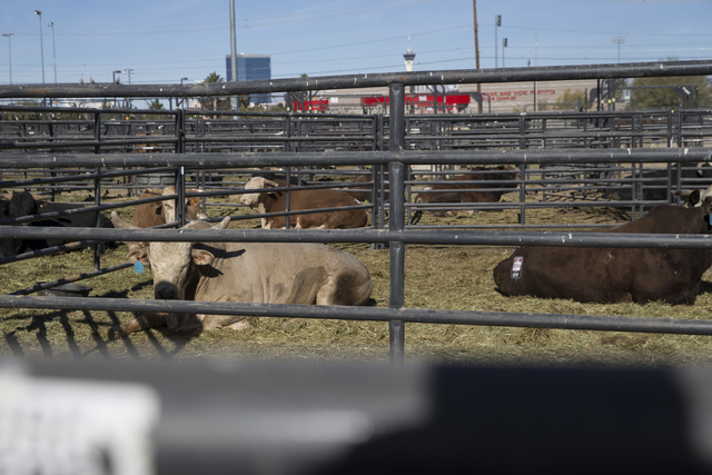 Feed Crew Keeps Animals Bucking At National Finals Rodeo