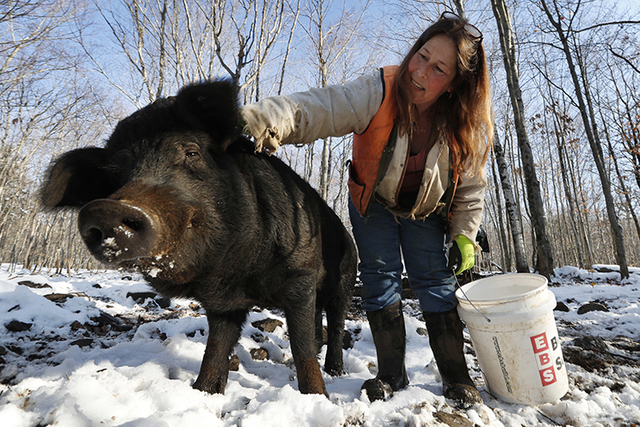 Susan Frank pets one of her mulefoot pigs at Dogpatch Farm in Washington, Maine. The American mulefoot hog was once the rarest of all U.S. livestock breeds, and they're still listed as criticall ...