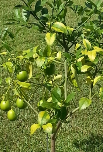 Wait Until February To Prune Citrus