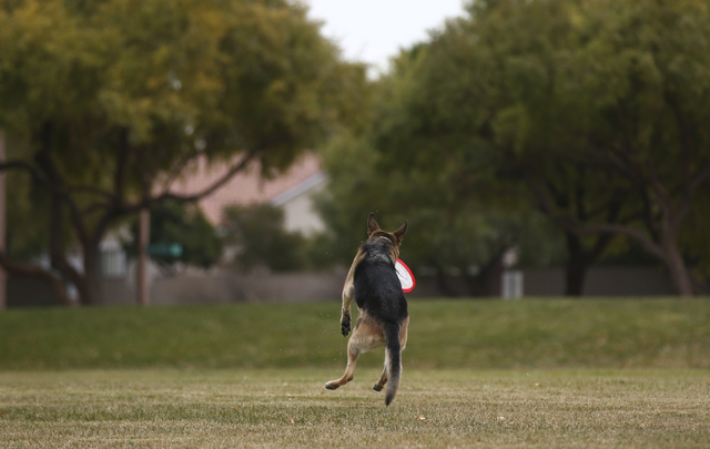 Payton catches a frisbee thrown by Matt Rebarchick, not pictured, at Willows Park in the Summerlin area of Las Vegas on Friday, Dec. 30, 2016. (Chase Stevens/Las Vegas Review-Journal) @csstevensphoto