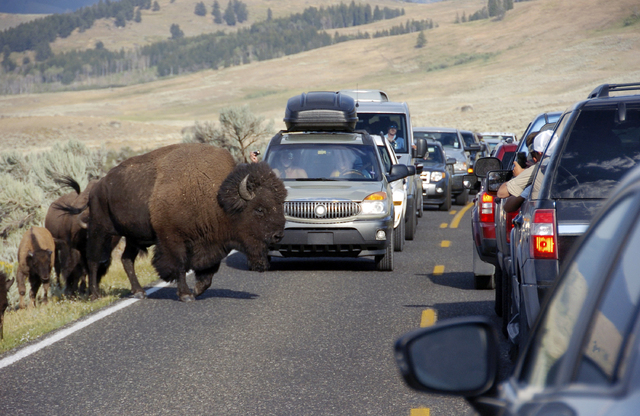 A large bison blocks traffic as crowds of tourists take photos in the Lamar Valley of Yellowstone National Park, Wyo., in August. (AP Photo/Matthew Brown)