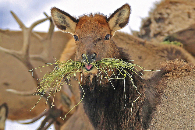 Elk feed at the Wenaha Wildlife Area near Troy, Oregon, earlier this week. Winter has wreaked havoc on wildlife, burying food sources under snow and ice. (Keith Kohl/ Oregon Department of Fish and ...