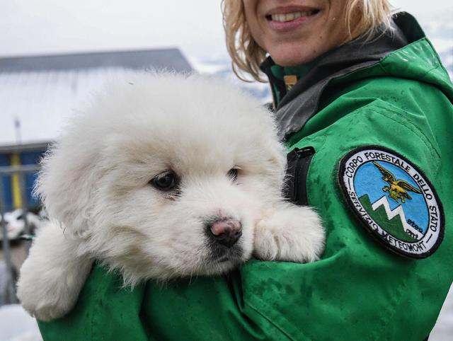 An Italian Forestry Corp officer officer holds one of three puppies that were found alive in the rubble of the avalanche-hit Hotel Rigopiano, near Farindola, central Italy, Monday, Jan. 22, 2017.  ...