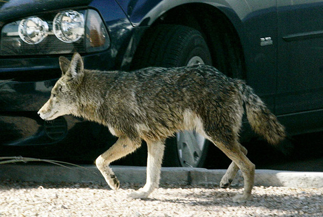 A coyote wanders through a parking lot at 6295 S. Pearl Street in Henderson, Wednesday, Jan. 7, 2009. (Las Vegas Review-Journal)