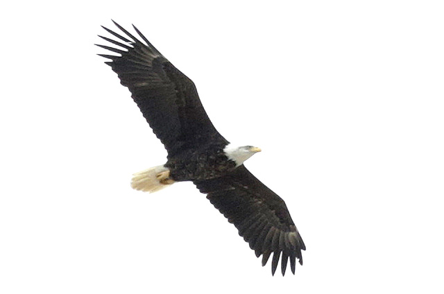 An adult bald eagle flies overhead at Lake Mead on Tuesday, Jan. 12 2017. A group of biologists and volunteers fanned out across Lake Mead and Lake Mohave for the annual eagle survey. (Bizuayehu T ...