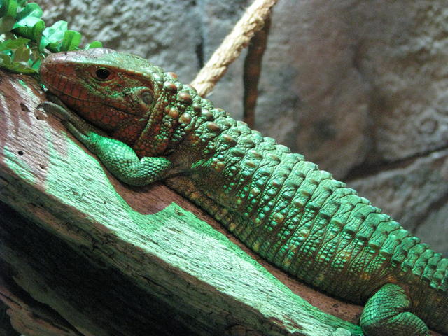 A Caiman lizard at SeaQuest Interactive Aquarium in the Boulevard Mall, 3528 S. Maryland Parkway. F. Andrew Taylor/View