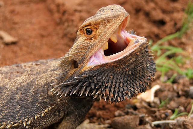 Scientists studying the flatulence habits of animals have discovered that the bearded dragon does indeed pass gas. (Thinkstock)
