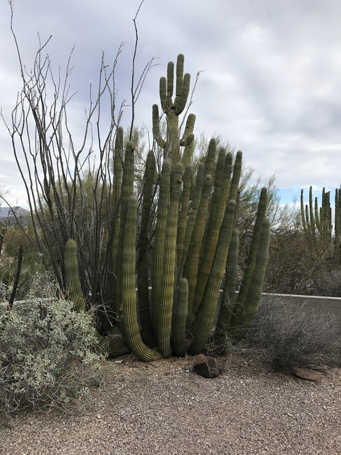 Organ pipe cactus grow alongside giant saguaro and ocotillo in Organ Pipe Cactus National Monument, Arizona. (Deborah Wall/Courtesy)