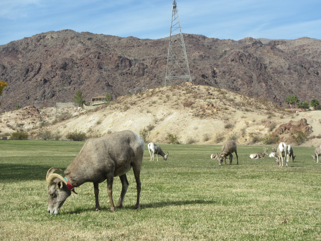 A bighorn sheep wearing a collar from an earlier capture grazes in Boulder City's Hemenway Park on Dec. 13. According to wildlife officials, the herd showed some improvement last year, but it is s ...