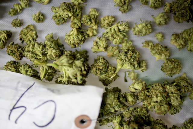 Marijuana buds are weighed and packaged in Medicine Man, and family owned dispensary in Denver Colorado. (Elizabeth Page Brumley/Las Vegas Review-Journal)
