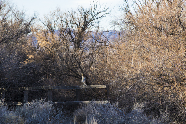 A hawk rests on a broken frence at Frenchman Flat on Wednesday, Jan., 11, 2017, at the Nevada National Security Site, in Mercury, Nevada. (Benjamin Hager/Las Vegas Review-Journal)