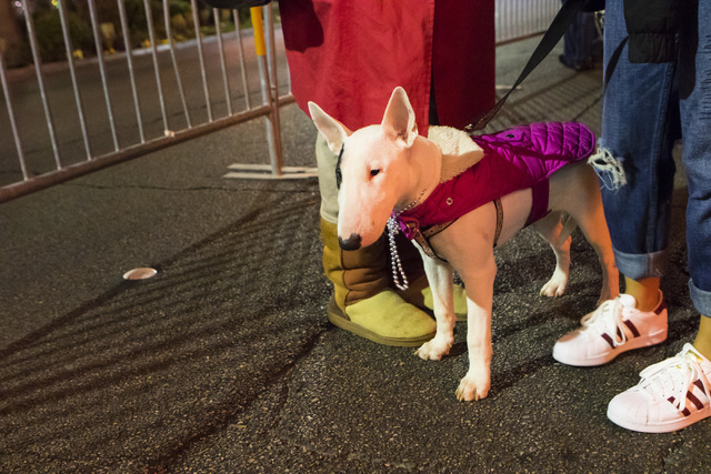 Cleo stands in front of the MGM Grand hotel-casino with her owners before New Year's celebrations Las Vegas Strip on Saturday, Dec. 31, 2016. (Miranda Alam/Las Vegas Review-Journal) miranda.alam