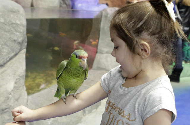 Addison Molony, 4, reacts as a parrot uses her arm for a perch at the Boulevard Mall's new SeaQuest Interactive Aquarium. (Bizuayehu Tesfaye/Las Vegas Review-Journal)@bizutesfaye