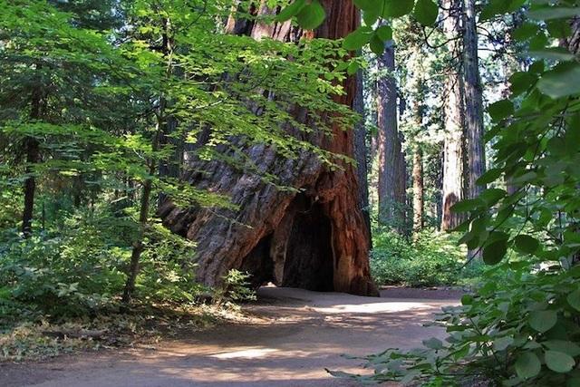 Pioneer Cabin Tree (Barbara Stewart/Calaveras Big Trees Association/Facebook)