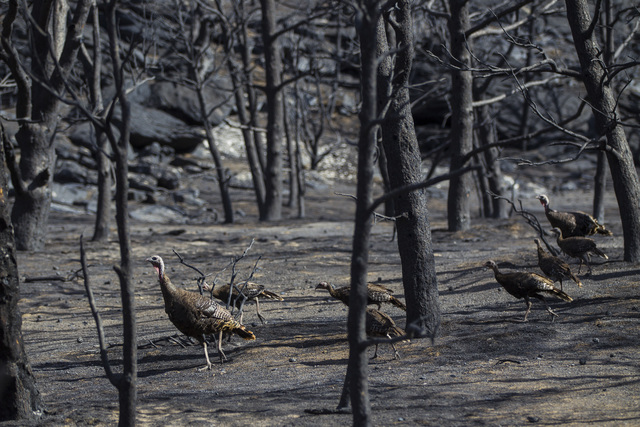 Wild turkeys roam through areas damaged by the Strawberry Fire at Great Basin National Park on Thursday, Aug. 25, 2016. (Chase Stevens/Las Vegas Review-Journal) @csstevensphoto