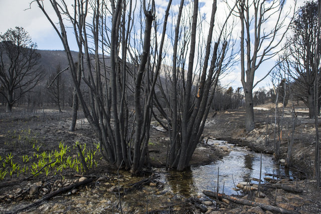 Grass grows next to Strawberry Creek in an area damaged by the Strawberry Fire in Bureau of Land Management land just outside of Great Basin National Park on Thursday, Aug. 25, 2016. (Chase Steven ...
