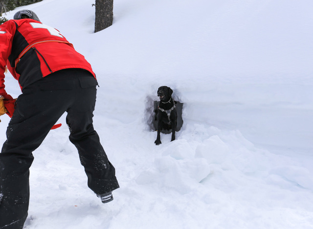 Avalanche rescue dog Lida, who is nearly 2 years old, pokes her head out of a hole in the snow during a training exercise at Lee Canyon ski resort on Mount Charleston on Thursday, Feb. 23, 2017, i ...