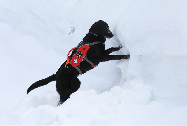 Avalanche Rescue dog Lida digs into a snowbank where skier Nick Nordblom is buried during a training exercise at Lee Canyon ski resort on Mount Charleston on Thursday, Feb. 23, 2017, in Las Vegas. ...