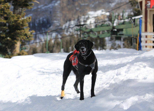 Avalanche rescue dog Lida, who is nearly 2 years old, waits or a toy to be thrown during a training exercise at Lee Canyon ski resort on Mount Charleston on Thursday, Feb. 23, 2017, in Las Vegas.  ...